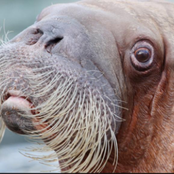 the procrastinating walrus