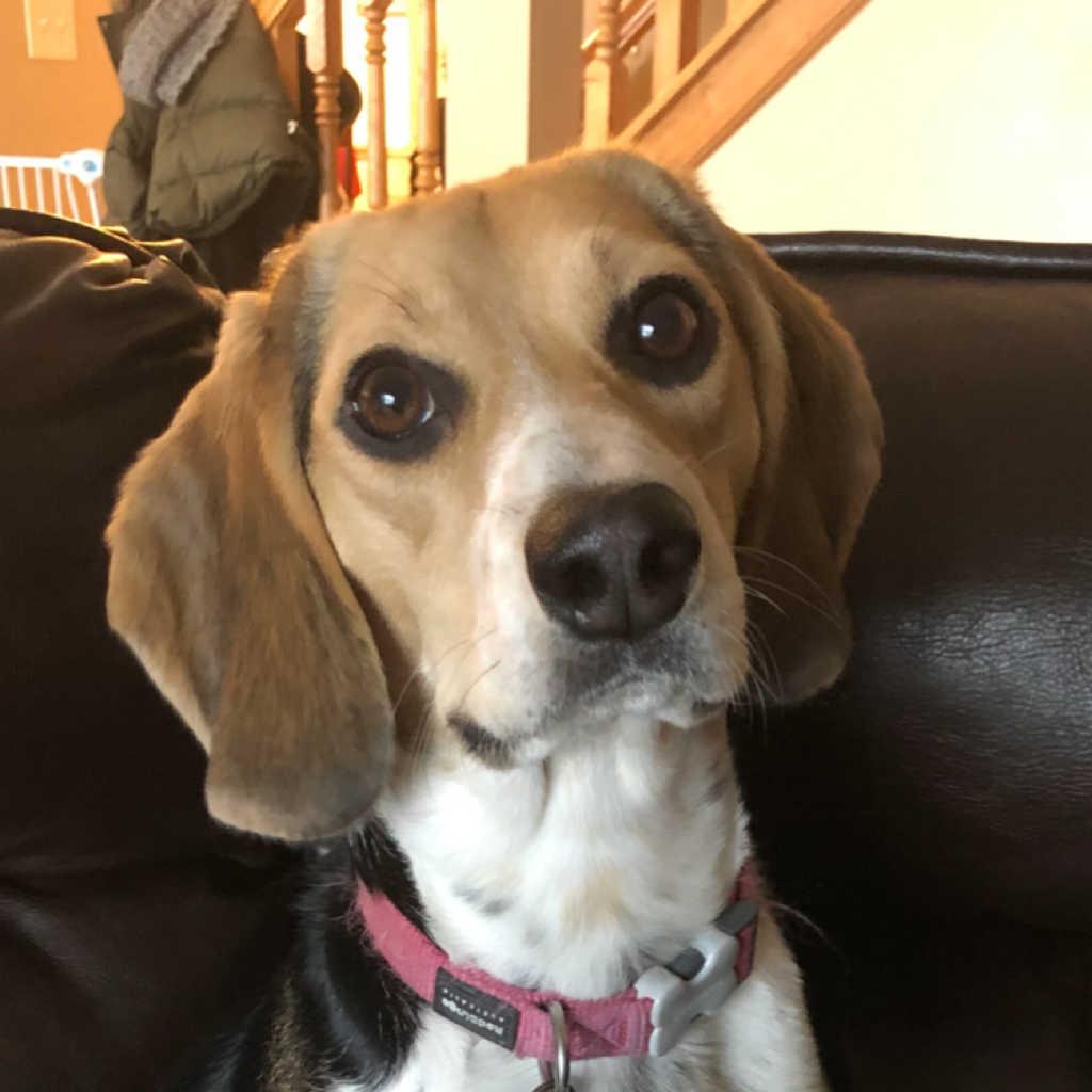 beagles003