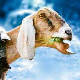 Goat ist tot